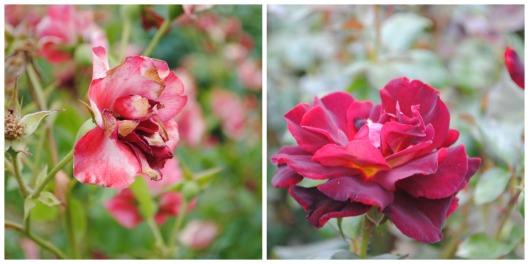 Collage rosas